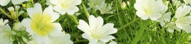 白いかわいい花が咲きます。 その種子から油を搾って出来たのがメドウホーム油です。